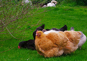 Photo: Chickens and swans